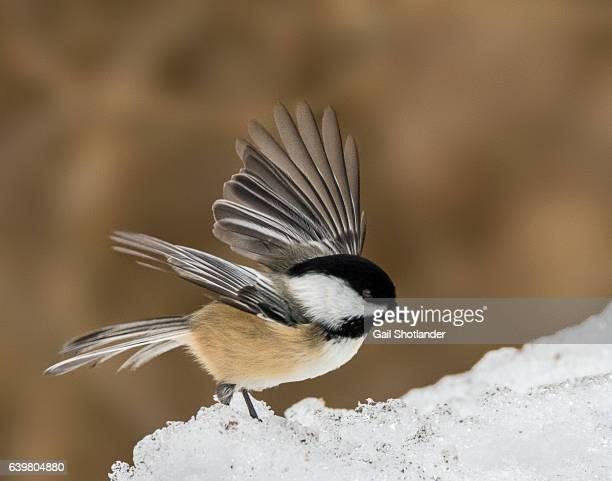 Black-capped Chickadee Landing on Snow
