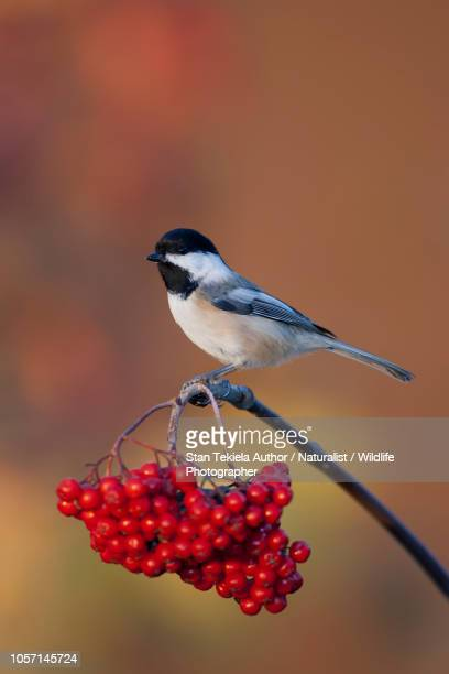Black-capped Chickadee, on cranberry in autumn