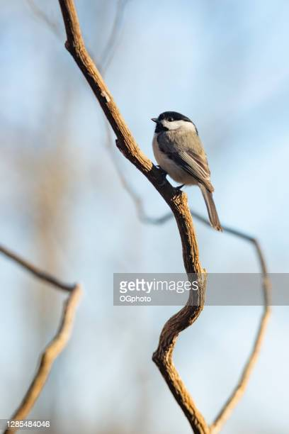 black-capped chickadee  perched on a branch. - ogphoto stock pictures, royalty-free photos & images