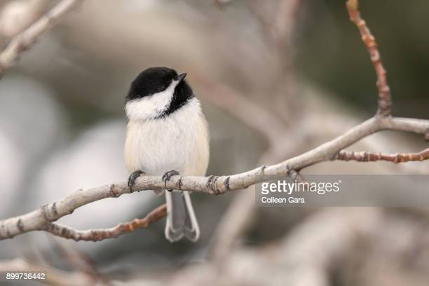Black-capped Chickadee Perched on Tree Branch in Winter