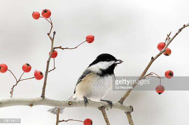 Black-capped Chickadee with a seed, Parus atricapillus. Perched on crab apple tree branch. Friendly, common bird around feeders. Open woodlands, suburbs. Widespread range. Has a sunflower seed. Michigan. USA