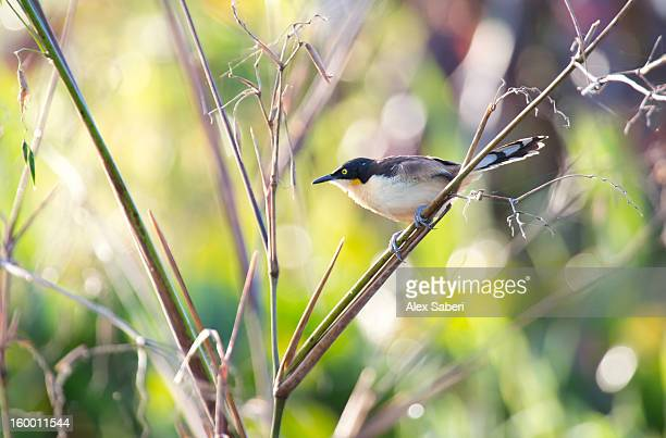 a black-capped donacobius hangs on a branch. - alex saberi stock pictures, royalty-free photos & images