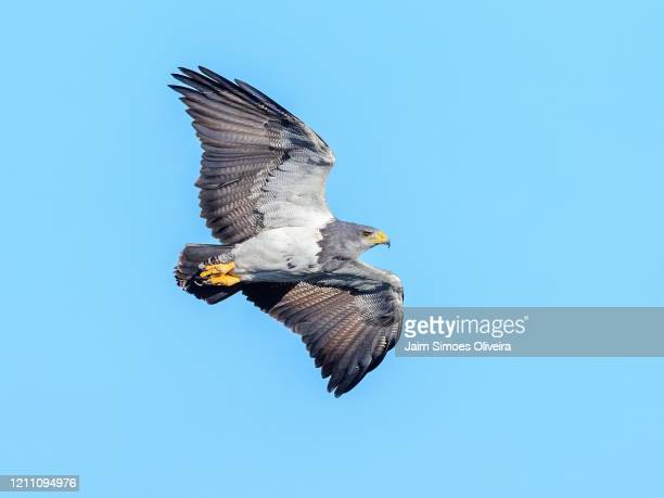 black-chested buzzard-eagle flying free - águia serrana - fotografias e filmes do acervo