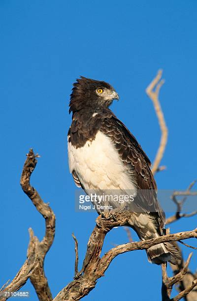 black-chested snake eagle (circaetus pectoralis) perched on a tree branch - black chested snake eagle stock pictures, royalty-free photos & images