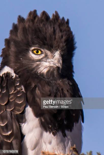 black-chested snake eagle - black chested snake eagle stock pictures, royalty-free photos & images