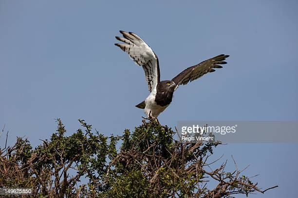 a black-chested snake eagle taking off - black chested snake eagle stock pictures, royalty-free photos & images