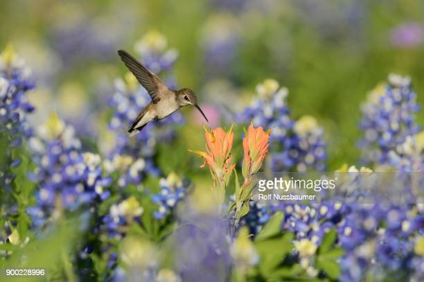black-chinned hummingbird (archilochus alexandri), adult female feeding on blooming prairie paintbrush (castilleja purpurea var. lindheimeri) among texas bluebonnet (lupinus texensis), hill country, texas, usa - texas bluebonnet stock pictures, royalty-free photos & images