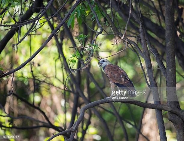 a black-collared hawk, busarellus nigricollis, perching on branch in the amazon jungle. - alex saberi fotografías e imágenes de stock