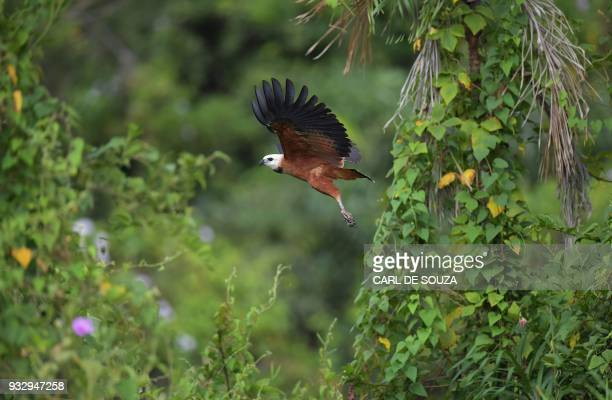 A Blackcollared hawk is pictured in flight at the Pantanal wetlands in Mato Grosso state Brazil on March 7 2018 The Pantanal is the largest wetland...