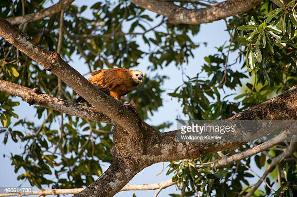Black-collared hawk perched in a tree feeding on a fish at Porto Jofre in the northern Pantanal, Mato Grosso province in Brazil.