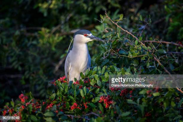 Black-crowned night heron at Venice Rookery, Venice, Florida