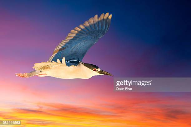 black-crowned night heron in flight - rookery stock pictures, royalty-free photos & images