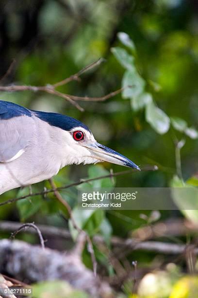 Black-crowned Night Heron, Lake Mburo National Par