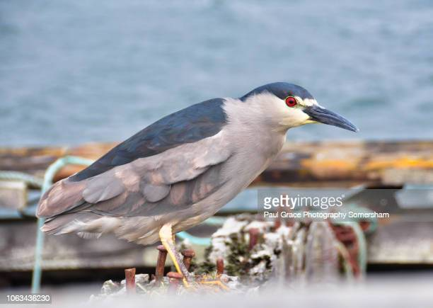 black-crowned night heron on the derelict hull of the vicar of bray - california gold rush stock pictures, royalty-free photos & images