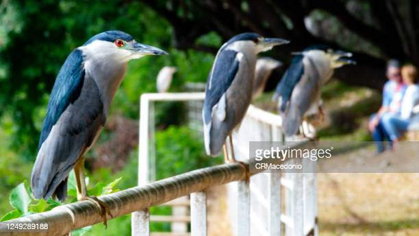 black-crowned night heron. - crmacedonio stock pictures, royalty-free photos & images