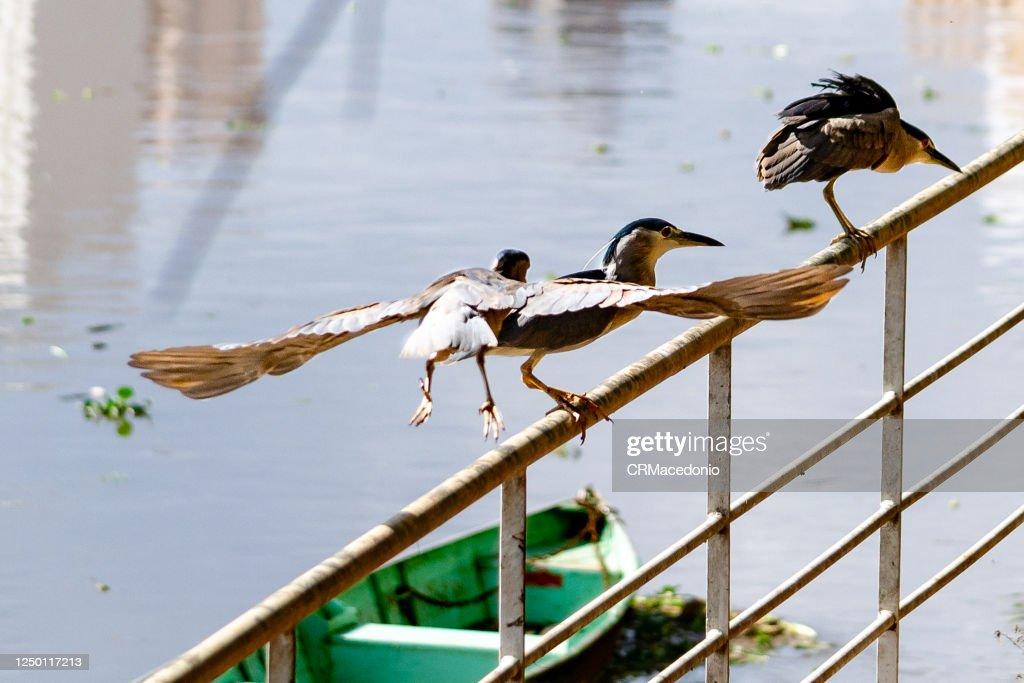 Black-crowned night heron. : Foto de stock