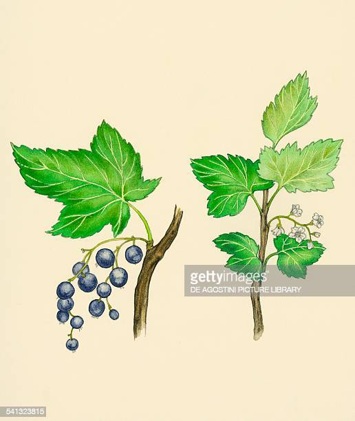 Blackcurrant berries and flowers Grossulariaceae drawing