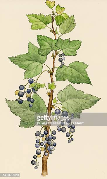 Blackcurrant branch with berries Grossulariaceae drawing