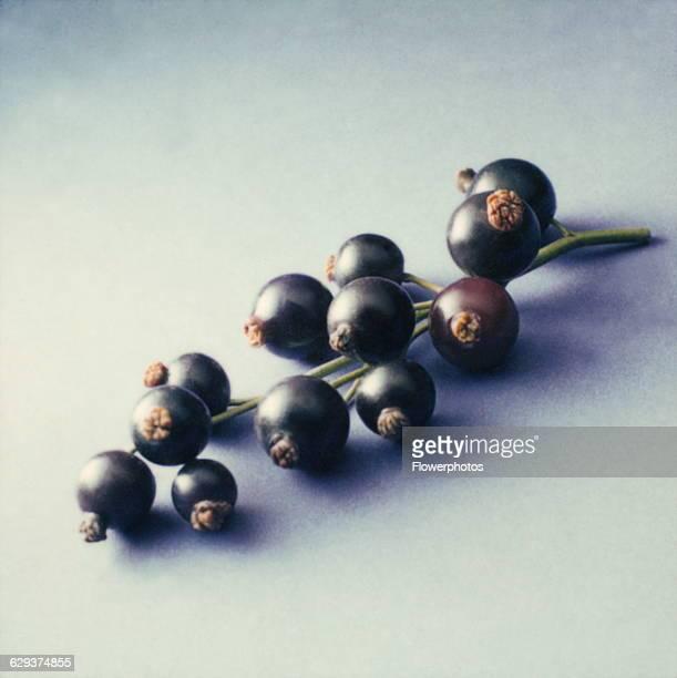 Blackcurrant Ribes nigrum