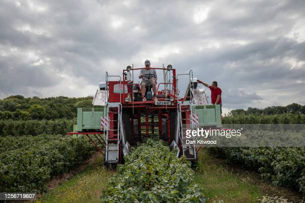 Blackcurrants are harvested using a Joonas Harvester at New House Farm on July 17, 2020 in Canterbury, England. The berries are to be supplied to...