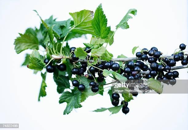 blackcurrants on branch - johannisbeere stock-fotos und bilder