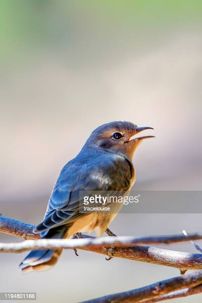black-eared cuckoo juvenile - songbird stock pictures, royalty-free photos & images