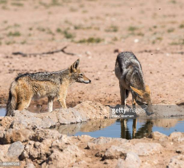 blacked-backed jackel watching a giant wasp, water hole at auob wadi, kgalagadi national park, kalahari, south africa - african wasp stock pictures, royalty-free photos & images