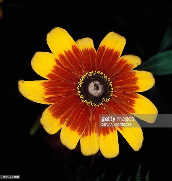 Blackeyed Susan Asteraceae