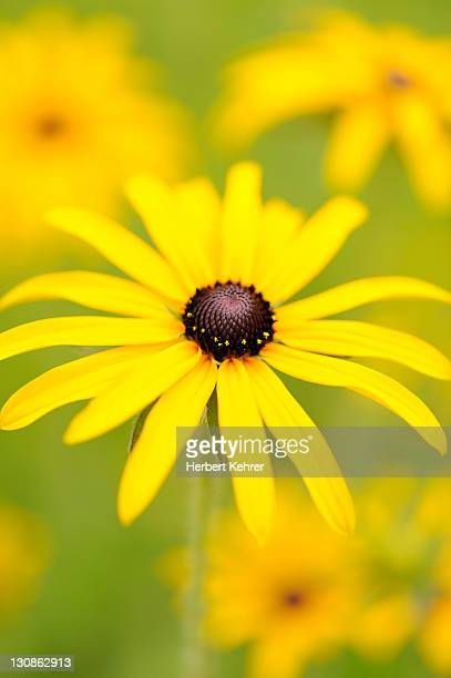 Black-eyed Susan, Brilliant Coneflower, Eastern Coneflower, or Orange Coneflower (Rudbeckia fulgida)