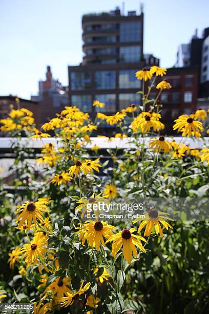 Black-Eyed Susan Growing On Balcony Against Building