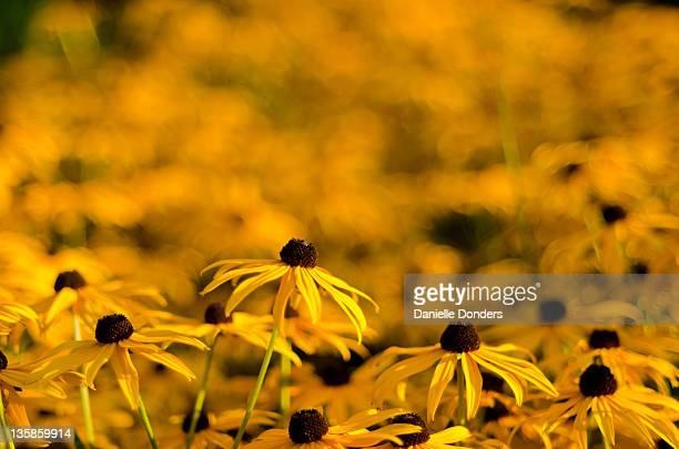 """black-eyed susans - """"danielle donders"""" stock pictures, royalty-free photos & images"""
