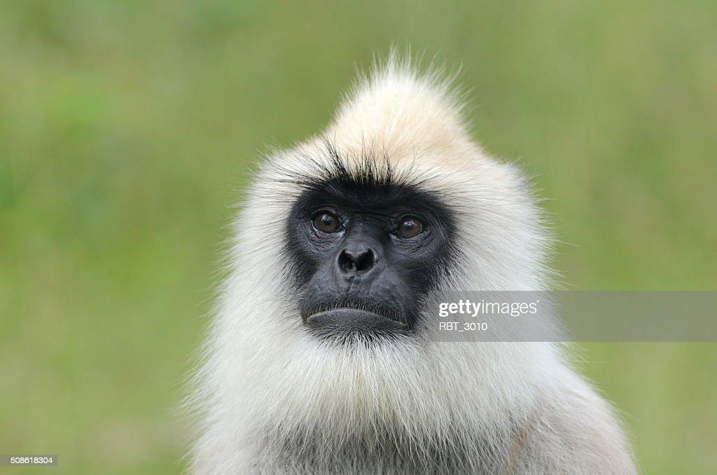 Black-faced langur monkey : Stock Photo