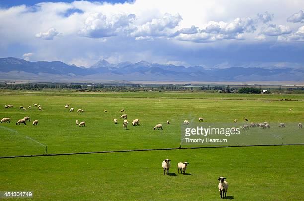 black-faced sheep grazing in pasture - timothy hearsum stockfoto's en -beelden