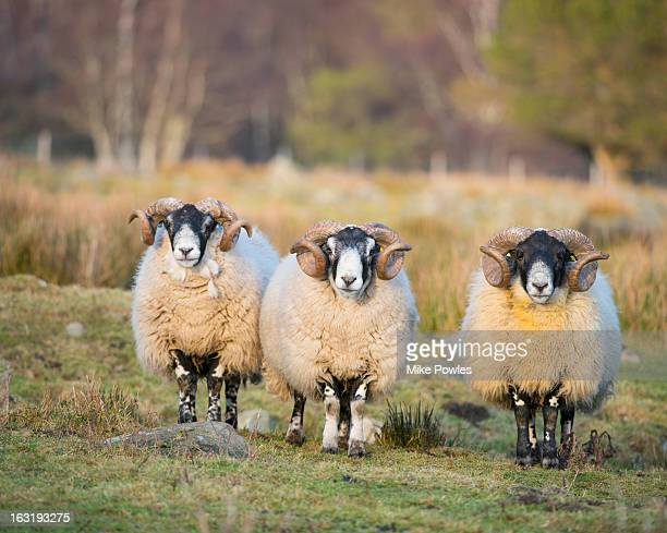 black-faced sheep, group of rams, scotland - aberdeenshire stock pictures, royalty-free photos & images
