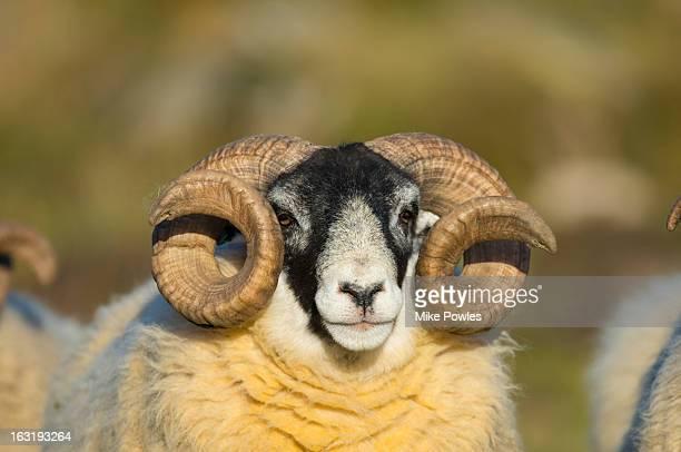 black-faced sheep, ram, grampians, scotland - ram animal stock photos and pictures