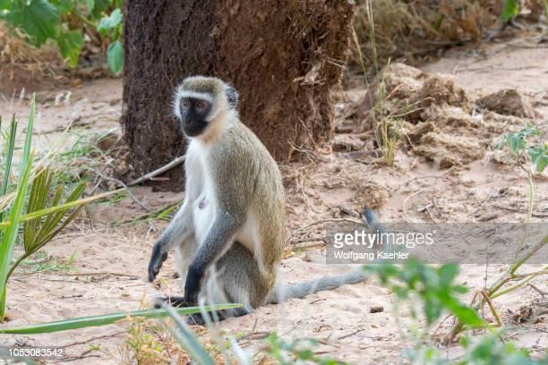 Blackfaced vervet monkey in the Samburu National Reserve in Kenya
