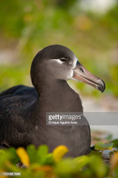 black-footed albatross (phoebastria nigripes), midway atoll, northwestern hawaiian islands - midway atoll stock pictures, royalty-free photos & images