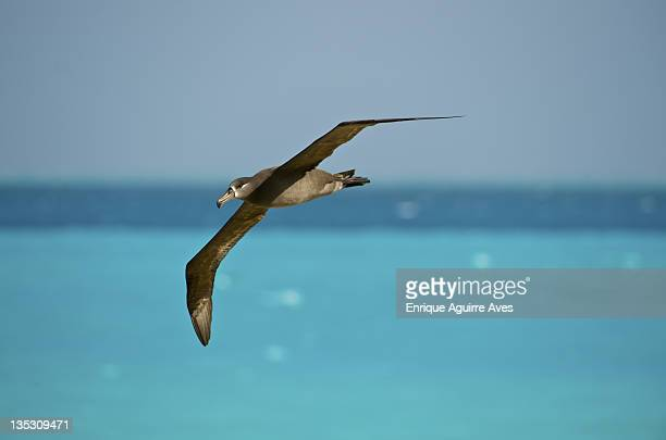 black-footed albatross - midway atoll stock pictures, royalty-free photos & images