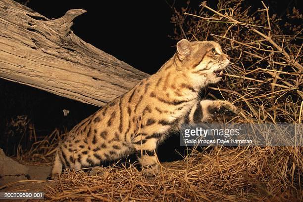 gato bravo de patas negras imagens e fotografias de stock getty images