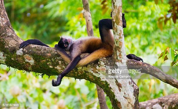 black-handed spider monkey resting on tree - parque nacional de santa rosa fotografías e imágenes de stock
