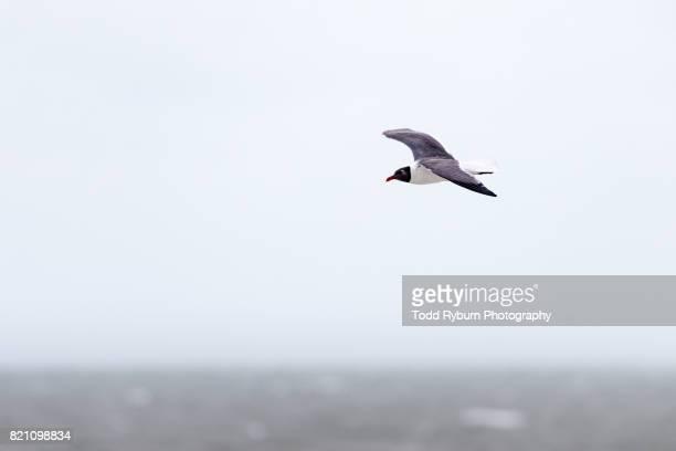 Black-head Gull in Flight