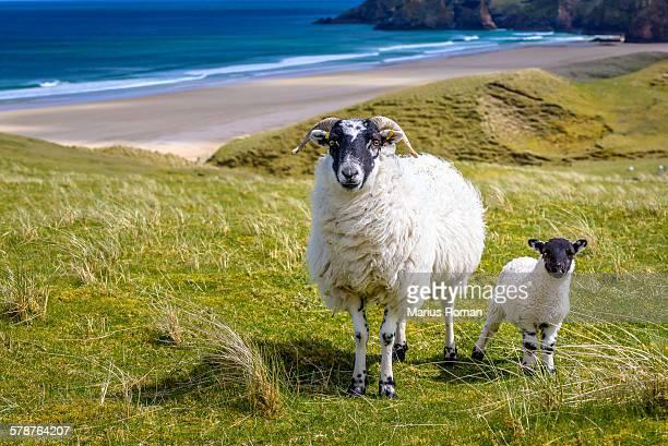 Blackhead sheeps, near Tolsta beach, Isle of Lewis