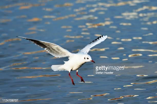 Black-headed Gull (Chroicocephalus ridibundus, Larus ridibundus), approaching, Lake Zug, Canton of Zug, Switzerland