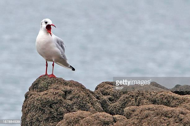BlackHeaded Gull BlackHeaded Gull Larus Ridibundus BlackHeaded Gull Gull Larid Sea Bird Birdpicardy France Europe