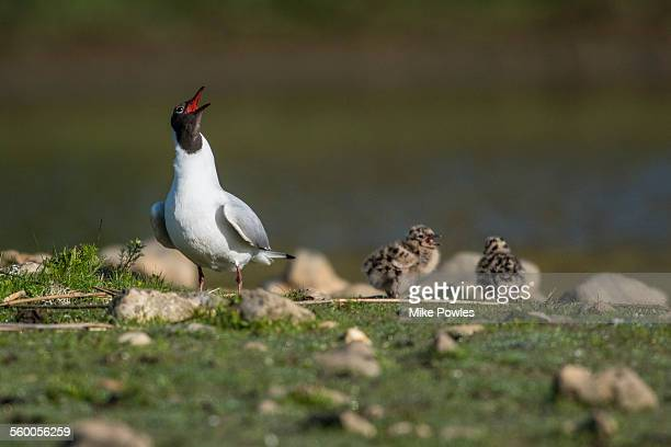 Black-headed Gull calling, with chicks