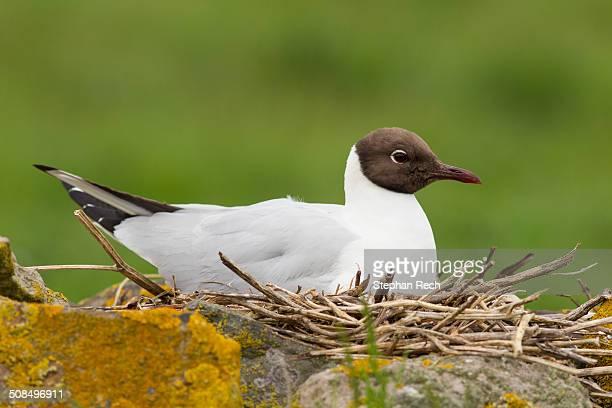 Black-headed Gull -Chroicocephalus ridibundus-, Farne Islands, Northumberland, England, United Kingdom, Europe