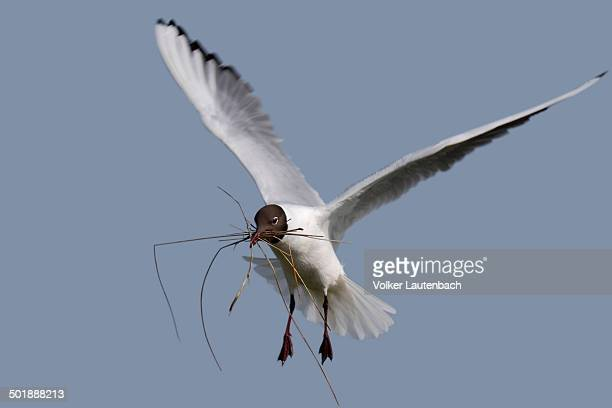 Black-headed Gull -Chroicocephalus ridibundus, formerly Larus ridibundus- in flight with nesting material, East Frisian Islands, East Frisia, Lower Saxony, Germany
