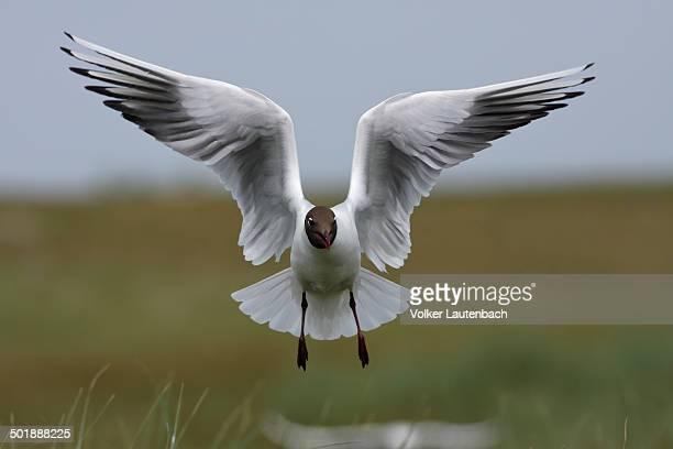 Black-headed Gull -Chroicocephalus ridibundus, formerly Larus ridibundus-, in flight, East Frisian Islands, East Frisia, Lower Saxony, Germany