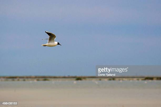black-headed gull flying low over water - dorte fjalland stock pictures, royalty-free photos & images