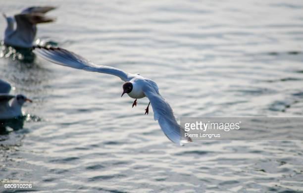 Black-headed gull (Chroicocephalus Ridibundus) Flying over Lake Geneva - Switzerland